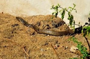 1.5m Cape Cobra (Naja nivea)